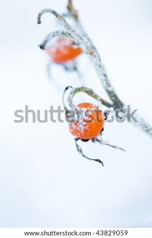 Frozen rose bush on a very cold day in winter