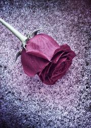Frozen Rose on Snow