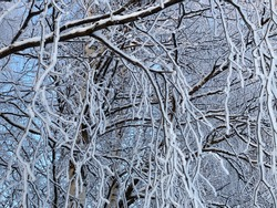 Frozen tree covered in snow. Winter time in Lapland. Frozen branches of tree. White tree branches.