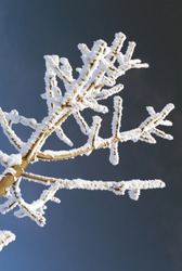 Frozen tree – winter season, cold, weather or frost concept. Vertical photography of tree detail covered with snow on dark blue background. Frozen tree branch photographed close up. Snowy branches.