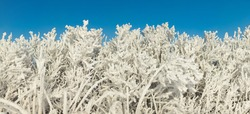 FROZEN TREES AND CLEAR BLUE SKY, BEAUTIFUL WINTER LANDSCAPE AT SUNNY DAY DURING COLD FROSTY WEATHER, BEAUTY OF NATURE