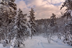 Frozen trees on top of mountain   in Lapland. view at sunset.