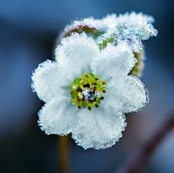 Frozen white flower, macro shot
