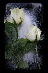 Frozen white roses on black background
