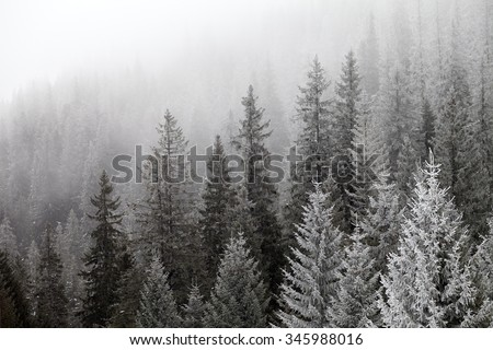 Frozen winter forest in the fog. Carpathian, Ukraine. #345988016