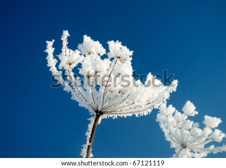 Frozenned flower on background blue sky.Winter landscape