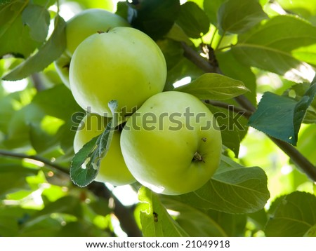 Fruit apples on a tree