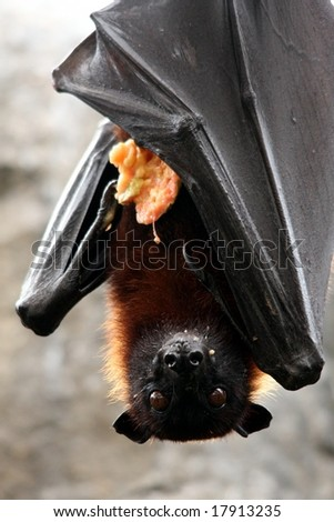 Fruit bat also known as flying fox eating
