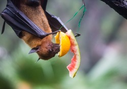 Fruit bat also known as flying fox hanging upside and down eating juicy orange and watermelon