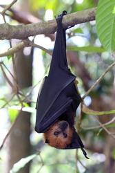 Fruit bat, flying fox (flying dog) flying, Mauritius