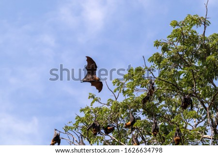 Fruit bat flying in forest. with the corona virus is a zoonotic disease, from animals to humans. is also thought to have originated in bats Stock photo ©