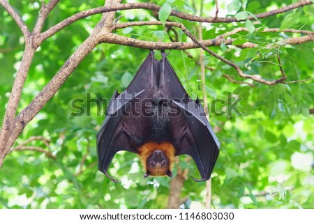 fruit bat hanging on tree in forest. Lyle's flying fox.