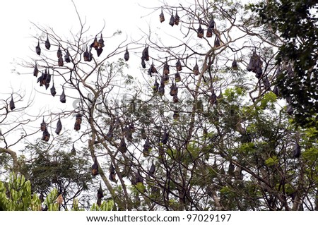 Fruit bats hanging on a tree
