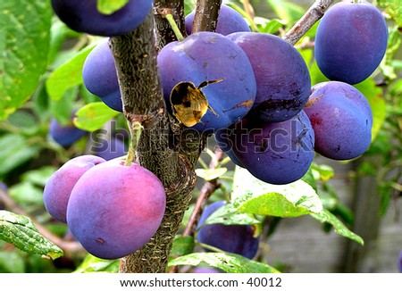 Fruit Bee, Where is the polon? Stock photo ©