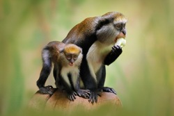 Fruit feeding family. Campbell's mona monkey or Campbell's guenon monkey, Cercopithecus campbelli, in nature habitat. Primate from Ivory Coast, Gambia, Ghana, tropic Africa