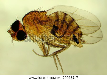 Fruit fly (Drosophila melanogaster). Magnification 40X