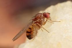 Fruit Fly, Drosophilidae