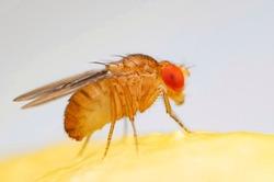 Fruit fly or vinegar fly (Drosophila melanogaster) on banana fruit surface.