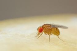 Fruit fly or vinegar fly (Drosophila melanogaster) on the surface of a banana.