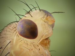 Fruit fly profile