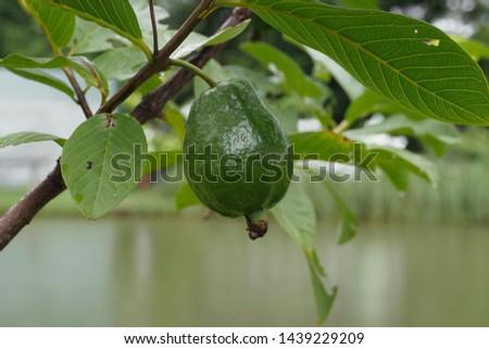 fruit, guava fruit, nature fruit