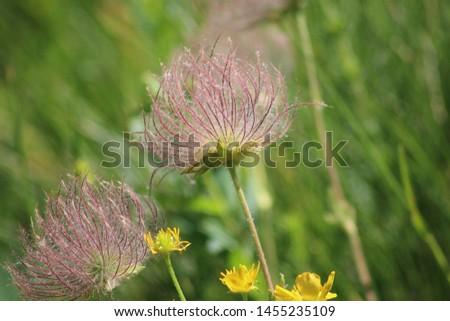 Fruit of alpine pasqueflower or alpine anemone. Pulsatilla alpina #1455235109