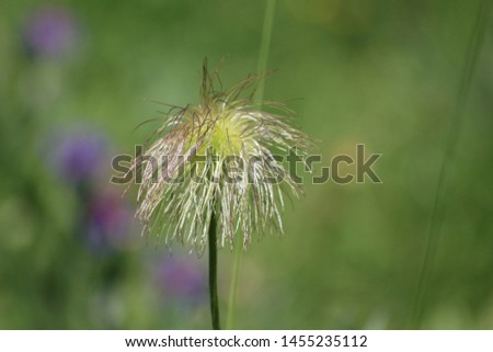 Fruit of alpine pasqueflower or alpine anemone. Pulsatilla alpina #1455235112