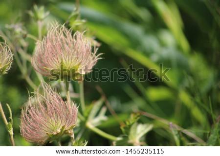 Fruit of alpine pasqueflower or alpine anemone. Pulsatilla alpina #1455235115