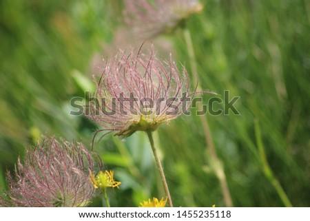 Fruit of alpine pasqueflower or alpine anemone. Pulsatilla alpina #1455235118