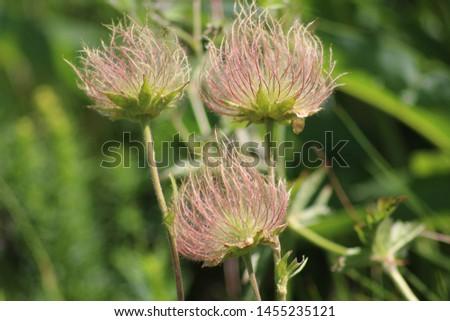 Fruit of alpine pasqueflower or alpine anemone. Pulsatilla alpina #1455235121