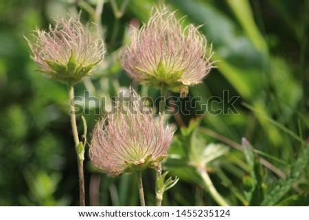 Fruit of alpine pasqueflower or alpine anemone. Pulsatilla alpina #1455235124