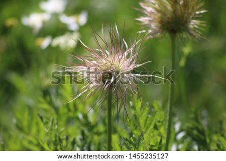 Fruit of alpine pasqueflower or alpine anemone. Pulsatilla alpina #1455235127