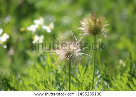Fruit of alpine pasqueflower or alpine anemone. Pulsatilla alpina #1455235130