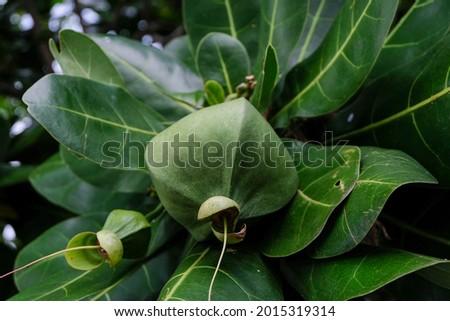 Fruit of Barringtonia asiatica (Putat Laut, Fish Poison Tree) in Singapore Сток-фото ©