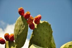 Fruit of cactus, opuntia, ,prickly pears, cholla