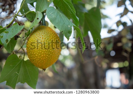 Rubber tree seed Images and Stock Photos - Page: 7 - Avopix com