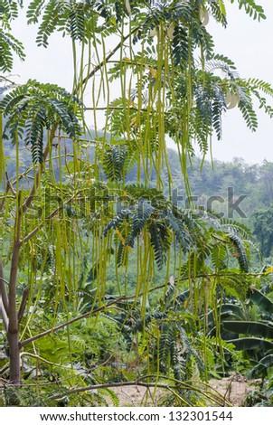 Fruit of Horse radish or Drumstick (Moringa oleifera Lam)