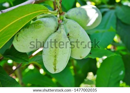 Fruit of the common pawpaw (asimina triloba) growing on a tree Stock photo ©
