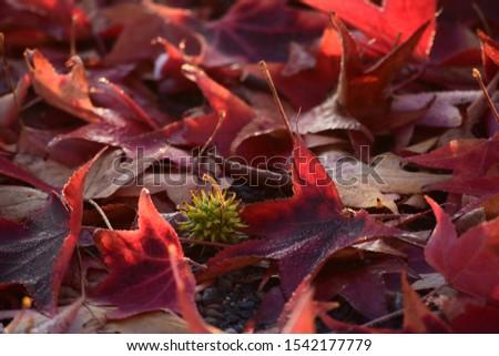 Fruit on Foliage from the Sweetgum #1542177779
