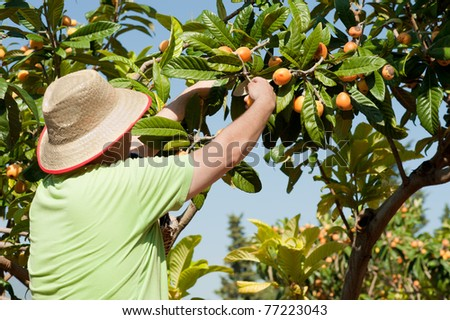 Fruit picker at work during the loquat harvest