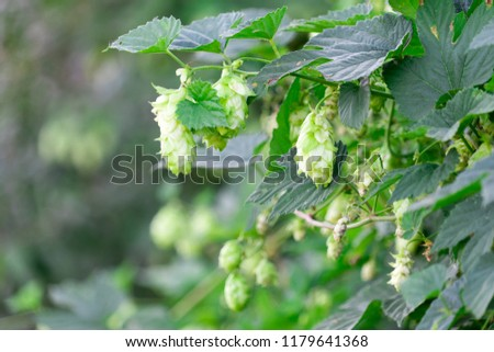 Fruit plant hops on branches. Place for your text. #1179641368