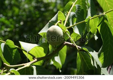 Fruit, plum, flower, rose, makro, walnut photography Stock foto ©