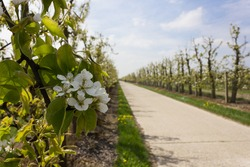 Fruit tree abloom during springtime in Haspengouw with fair weather and bicycle path in the background (Velm, Belgium)