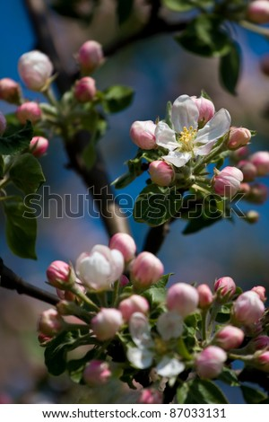 Fruit tree blooming - stock photo