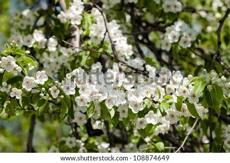 Fruit tree blossom close-up. Shallow depth of field