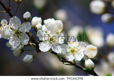 Fruit tree in blossom