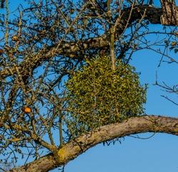 Fruit tree with mistletoe in the treetop