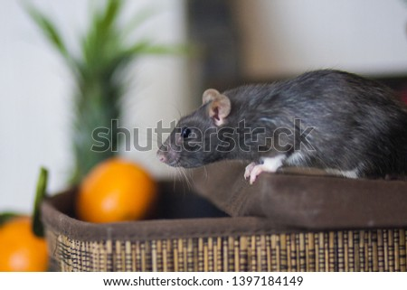 Fruit warehouse. Gray mouse. Gray rat Gray mouse steals food. The gray rat eats fruit. #1397184149