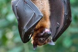 Fruitbat hanging upside down on a piece of wood on green Background