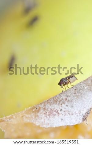 fruitfly on the wild nature (Drosophila Melanogaster) - stock photo
